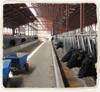 (株)ノベルズの牛たち